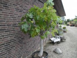 Boom In Pot Op Balkon.Magnolia Grandiflora Groenblijvers